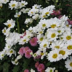 庭の千草 ムーア作詞 アイルランド民謡